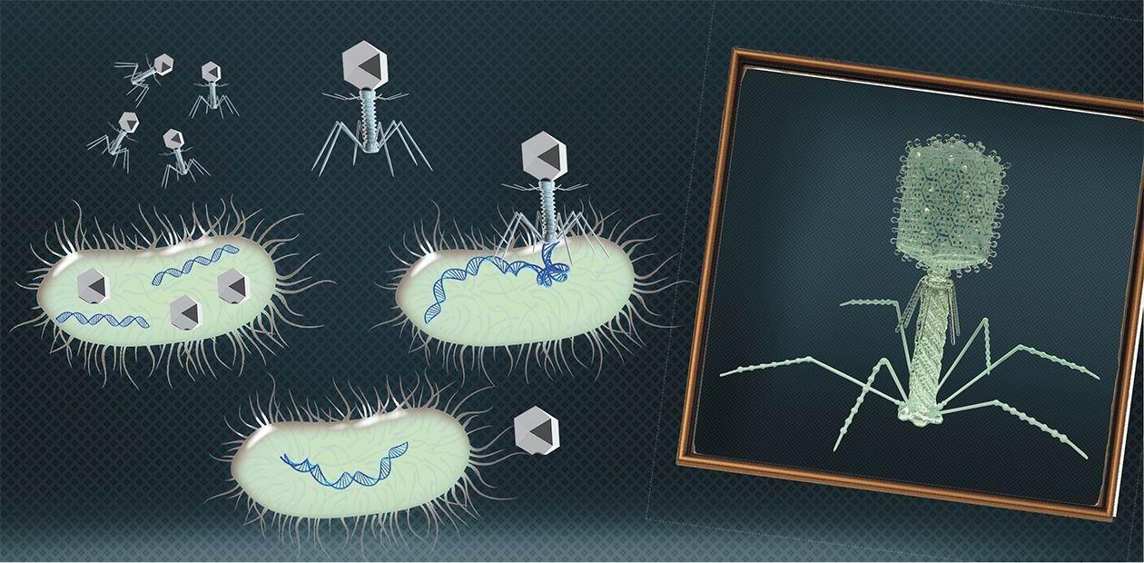полиионный бактериофаг инструкция
