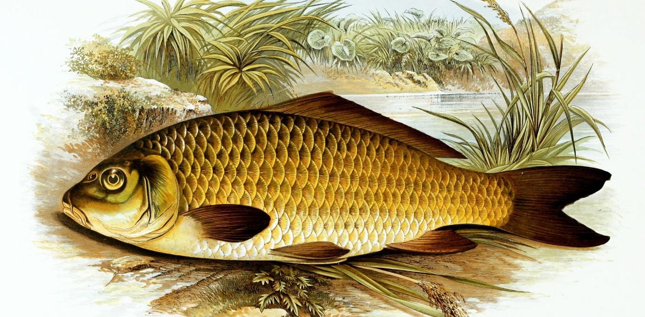 Картинка для детей пресноводные рыбы