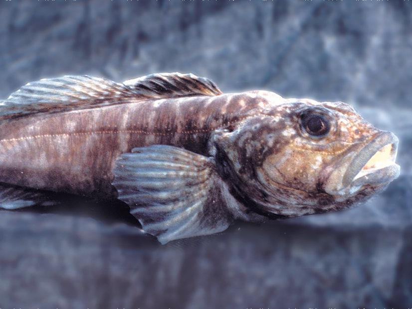 Mysterious Fish of Lake Baikal