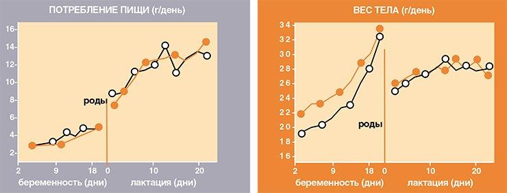 К середине беременности желтые мыши начинают есть меньше черных, в результате чего перед родами сравниваются с ними по весу. У кормящих же желтых мышей мутация в локусе Агути практически перестает влиять на их аппетит и вес тела