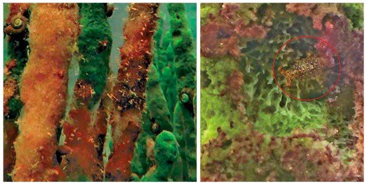 К поверхности этих мертвых коричневых «ветвей» губки L. baikalensis прикрепилось множество крохотных беспозвоночных животных – гидр (слева). По-видимому, разлагающиеся тела губок привлекают представителей зоопланктона, служащих основной пищей гидр. Гибель губок влечет засобой имассовую гибель их симбионтов – рачков-бокоплавов (справа). Южный Байкал, 2014 г. Фото С. Инкена и О. Тимошкина