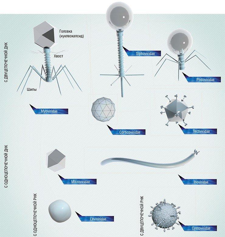 Бактериофаги различаются по форме и строению. Некоторые из них имеют очень простую форму – икосаэдра или нити, а некоторые своим видом напоминают настоящих космических роботов-убийц.У одних фагов наследственная генетическая информация зашифрована в ДНК (одно- или двуцепочечной), у других – в РНК. Наиболее сложно организованы фаги с большим (обычно до 170 тыс. пар нуклеотидов) геномом. Такие фаги и по размеру могут быть крупнее вирусов многоклеточных животных.Типичный бактериофаг состоит из головки, в которой содержится ДНК или РНК, окруженная белковой или липопротеиновой оболочкой (капсидом), и хвоста белковой трубки, которая используется для инъекции вирусного генетического материала в бактериальную клетку