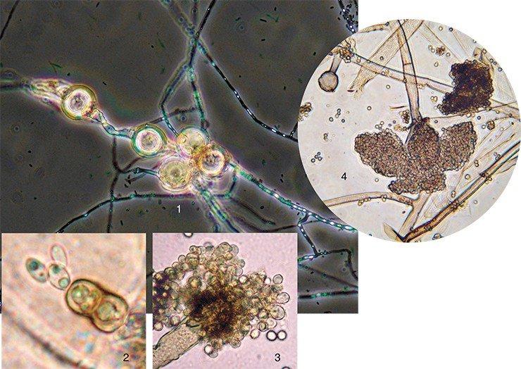 кора дуба от паразитов