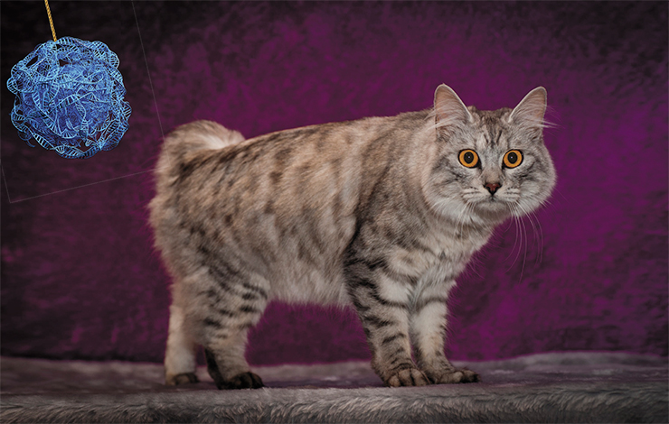 All tailless cats from the isle of Man are heterozygous for the Brachyury gene, since all homozygotes with this mutant gene die. © Michelle Weigold – stock.adobe.com