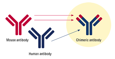 "Scientists at the ICBFM SB RAS attached to the human monoclonal antibody a small fragment of a mouse antibody that strongly binds tick-borne encephalitis virus. The ""humanization level"" of the resulting chimeric antibody is more than 96 %"