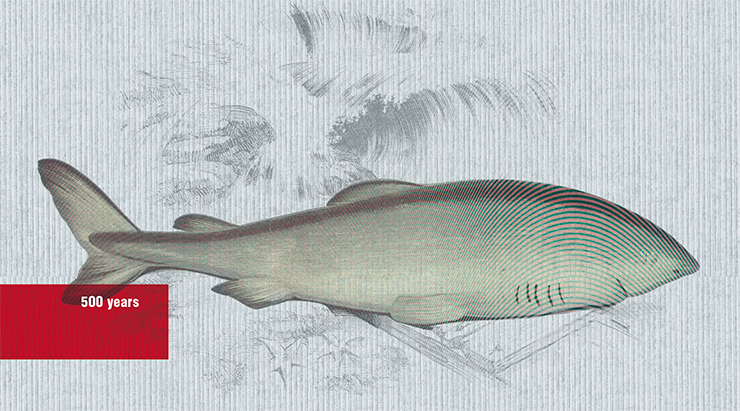 "In 2019, biologists observed a Greenland shark whose age was estimated to be around 500 years. The calculation is simple: these sharks grow just one centimeter per year, and the record specimen was 5.4 meters long. If the estimate is correct, this shark was born during the reign of the Russian tsar Basil the Third, the father of Ivan the Terrible. Illustration from ""A History of the Fishes of the British Islands"" by Jonathan Couch (1877). Public domain"