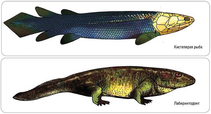 Диапсиды и синапсиды имеют общих предков – лабиринтодонтов – древнейших амфибий, унаследовавших от своих предков, кистеперых рыб, плоский, напоминающий панцирь череп. Ископаемая кистеперая рыба Gyroptychius (средний девон). Рис. Э. Воробьевой по: (Jarvik, 1948). Лабиринтодонт Ichtyostega (верхний девон). Рис. автора по: (Jarvik, 1955), с изменениями