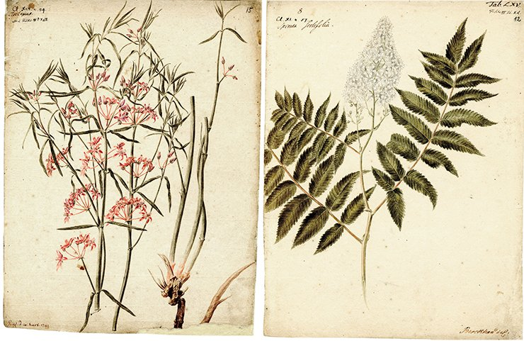 Left: Asclepias (silkweed). Drawing by J. Ch. Berckhan to the 4th volume of Flora Sibirica by J. G. Gmelin (1769). Water color, pencil. SPB RASA Coll. I. Inv. 105. File 22. Sheet 15. On right: Spiraea Sorbifolia (meadowsweet). J. G. Gmelin sent meadowsweet seeds to Petersburg, and they were planted in the Botanical Gardens. Subsequently this bush spread all over Russia. Drawing by J. Ch. Berckhan to the 3rd volume of Flora Sibirica by J. G. Gmelin (1769). Water color, pencil. SPB RASA. Coll. I. Inv. 105. File 22. Sheet 12