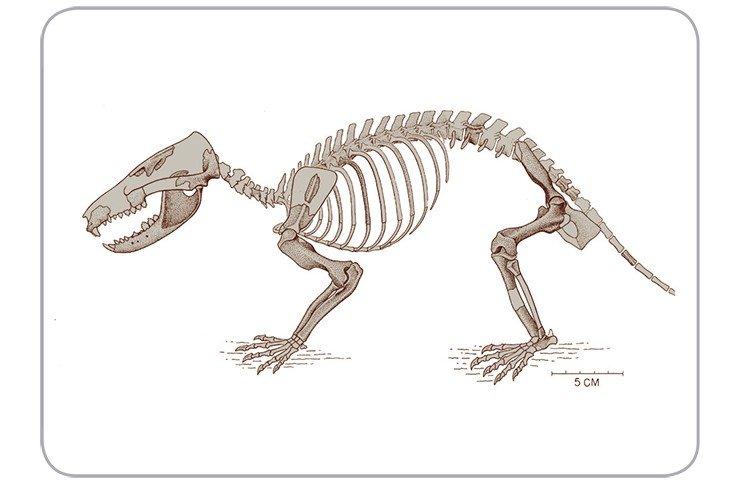 Триконодонт гобиконодон (Gobiconodon ostromi)– один из первых крупных (обратите внимание на масштаб!) хищников-млекопитающих. Ранний мел, Центральная Монтана (схожая форма была ранее описана отечественными палеонтологами из раннего мела Монголии). По: (Jenkins, Schaff, 1988), с изменениями