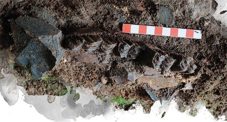 Согласно реконструкциям среды обитания древних людей, 50—70 тыс. лет назад климат Алтая был засушливым и относительно холодным. Основным занятием людей была охота на степных животных, преимущественно бизонов. Вверху – челюсть бизона из Чагырской пещеры. Фото С. Шнайдер