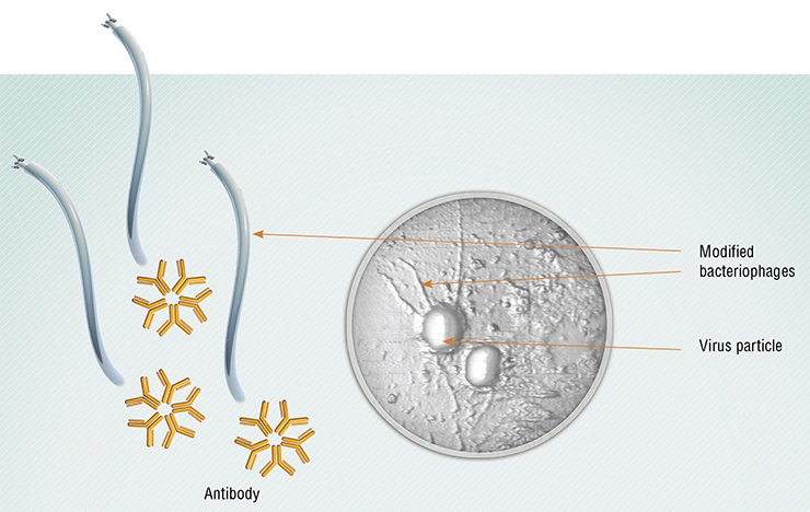 Currently, phages can be used not only directly as bactericidal agents, but also as carriers for drug delivery, be it an antibody or a chemical therapeutic. Above: The phages carrying antibodies to the vaccinia virus attack this virus. Atomic force microscopy. Photo by the courtesy of G. Shevelev and D. V. Pyshnyi