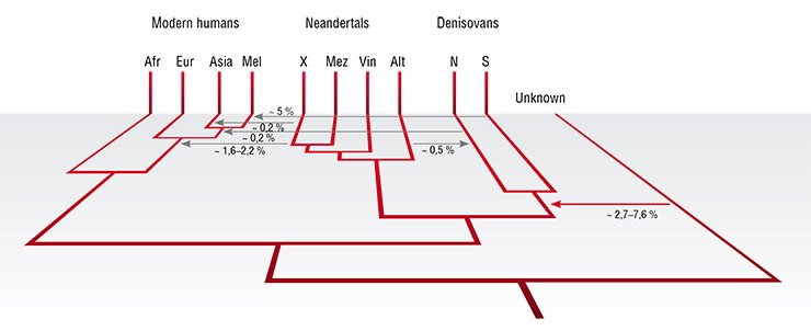 "A schematic illustration of some archaic and modern groups and their genetic interactions. Modern humans are represented by African, European, Asian and Mleanesian populations; Neandertals are represented by an unknown population (X) contributing to non-Africans, and by Neandertal genomes from the Russian Caucasus (Mez), Croatia (Vin) and Denisova Cave (Alt); Denisovans are represented by an unknown population (S) contributing to people in the Pacific and by the population in the Altai Mountains (N). ""Unknown"" represents a hominin that diverged between one and four million years ago and contributed to the Denisovan genome. For each of the six genetic contributions detected to date, the approximate percentages of the genome contributed are indicated. Prüfer et al., 2014"