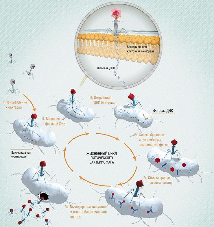 В отличие от умеренных бактериофагов, литические фаги убивают бактериальную клетку сразу после ее инфицирования