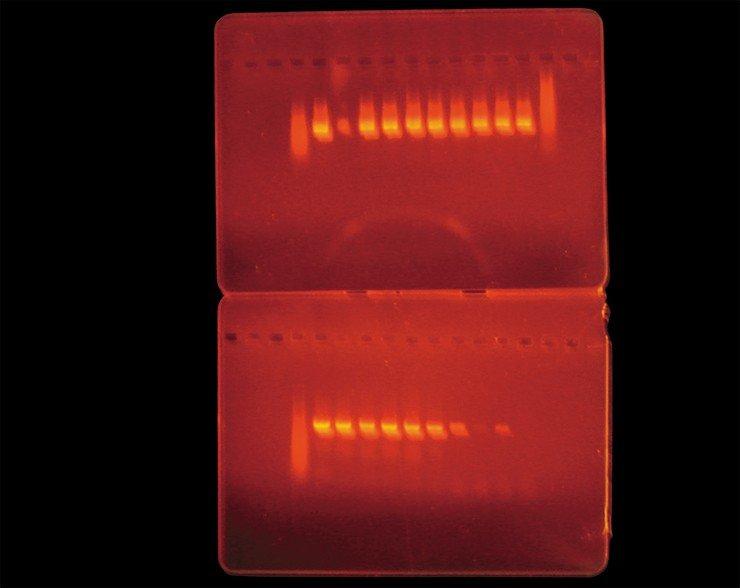 Полимеразная цепная реакция (ПЦР) способ обнаружения боррелий в клещах