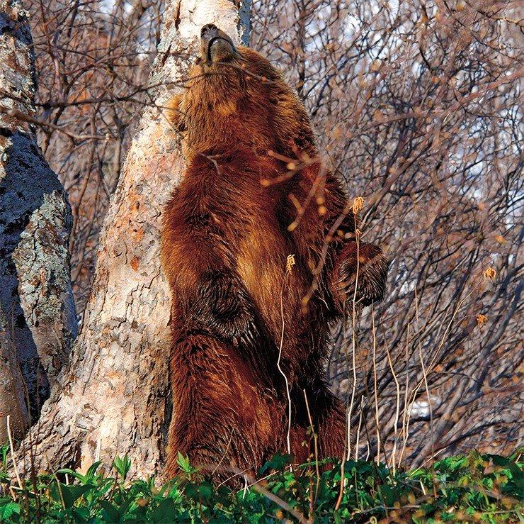 взрослых фото меток медведей на деревьях размер