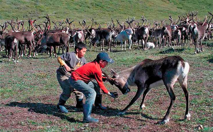 "Lassoing bucks before the rut to saw antlers is one of the most difficult tasks in reindeer-breeding. Even so, a reindeer breeder holding a reindeer with the maut often asks the child ""to help"" him cope with the animal, and the child proudly and willingly holds on to the maut. The adults cheer this assistance loudly"