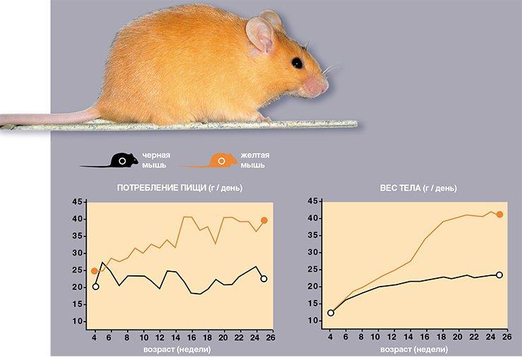 Основной причиной ожирения у желтых мышей является постоянное переедание. Они начинают есть больше нормы уже с 6-ой недели жизни, в результате чего уже через неделю начинают превосходить черных по весу тела