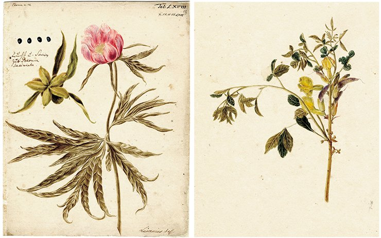 Left: Paeonia (peony). Drawing by J. W. Lurzenius to the 4th volume of Flora Sibirica by J.G. Gmelin (1769). Water color, pencil. SPB RASA. Coll. I. Inv. 105. File 22. Sheet 19. On right: Caragana sibirica Drawing by J. Dekker to the 4th volume of Flora Sibirica by J. G. Gmelin (1769). Water color, pencil. St Petersburg Branch of the Russian Academy of Sciences Archives (SPB RASA) Coll. I. Inv. 105. File 22. Sheet 16