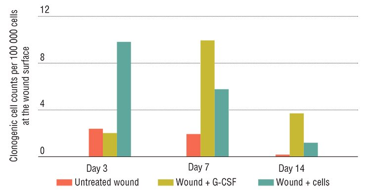 In experiment, skin wounds of laboratory animals heal most rapidly when stem cells are applied directly to the wound. Granulocyte colony-stimulating factor (G-CSF) also enhances healing. This factor increases the number of clonogenic cells, fibroblast progenitors, in the injured tissue