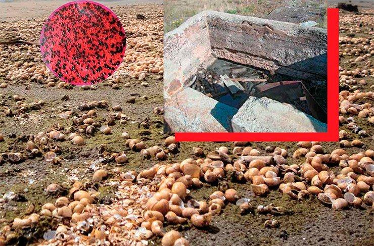 Эти колонии термотолерантных колиформных бактерий вчашке Петри – результат микробиологического анализа образца поровых вод, взятых из лунки пляжа рядом сгниющими водорослями, напротив пос. Заречный (г. Северобайкальск). Число колоний достигает рекордных значений в1950 колониеобразующих единиц на 100 мл, что свидетельствует означительном фекальном загрязнении. Сентябрь 2013г. Фото В. Мальника. Рядом с действующими очистными сооружениями г. Северобайкальск расположены руины старых, полуразрушенных, с ямами, заполненными зловонной жидкостью. По сообщениям местных жителей, напротяжении многих лет сюда почти ежедневно подъезжали ассенизационные машины и сливали сточные воды города – естественно, бесплатно. Это открытие стало ключом к пониманию странного явления– обильного цветения нитчатых водорослей, включая спирогиру, в левом рукаве р. Тыя примерно в 700 м выше расположения ныне действующей сточной трубы. Май 2014 г. Фото О. Тимошкина