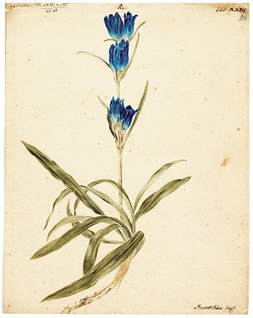 Gentiana (centaury). Drawing by J. Ch. Berckhan to the 4th volume of Flora Sibirica by J. G. Gmelin (1769). Water color, pencil. SPB RASA. Coll. I. Inv. 105. File 22. Sheet 24