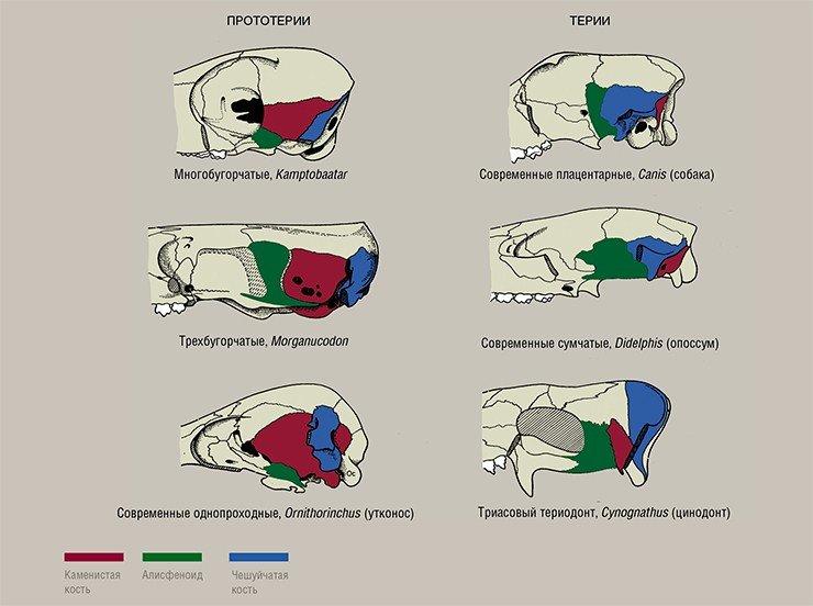 Строение черепной коробки продвинутых териодонтов и млекопитающих. По: (Kermack, Kielan-Jaworowska, 1971; Kermack, Mussett, Rigney, 1981). В строении боковой стенки черепов прототериевых и териевых млекопитающих хорошо заметно принципиальное различие. У прототериев чешуйчатая кость небольшая и формирует только заднюю часть черепной коробки; боковую же часть формирует каменистая кость, в толще которой находятся вестибулярный и слуховой аппараты. Таким образом, эта кость одновременно защищает как мозговую полость, так и вестибулярный аппарат и сенсорную часть слухового органа. У териев же каменистая кость в процессе эволюции уменьшается, уходит под чешуйчатую и освобождается от функции защиты мозговой полости