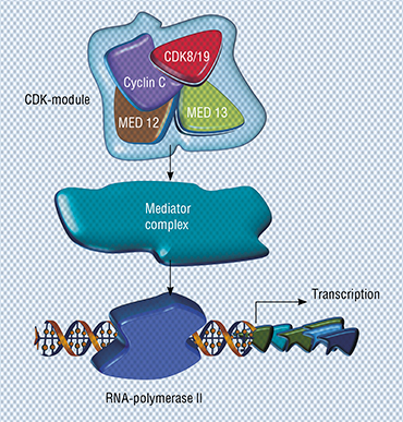 Cyclin-independent kinase 8 (CDK8) and its twin, CDK19, along with several other proteins, belong to the CDK-module, which interacts with the Mediator complex and regulates its activity. The Mediator complex, in turn, interacts with RNA-polymerase II enzyme, which is necessary for transcription – the synthesis of RNA on the DNA template (Porter et al., 2012). Image courtesy: PNAS