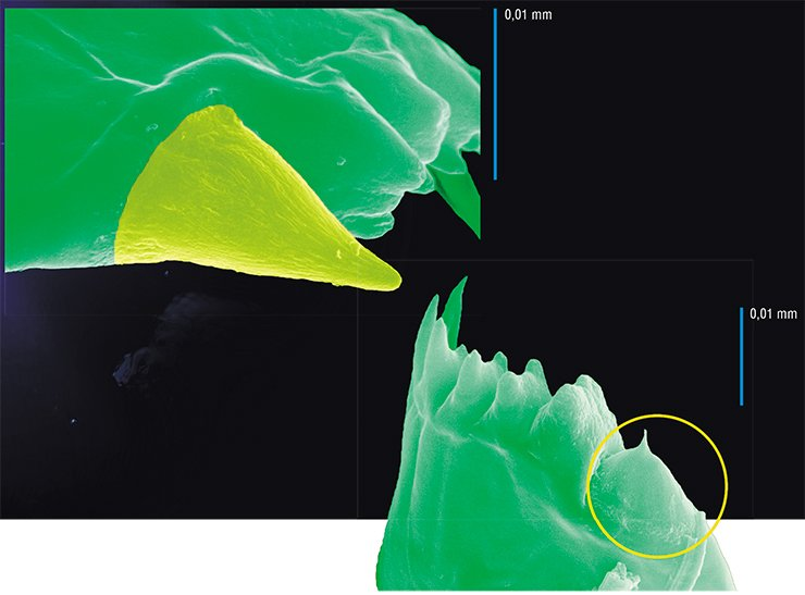 Mandibular tooth of E. baicalensis; the yellow color indicates the silicon crown (top). Cutting edge of the mandible of E. baicalensis; the circle symbol shows a tooth with a broken silicon crown (bottom)