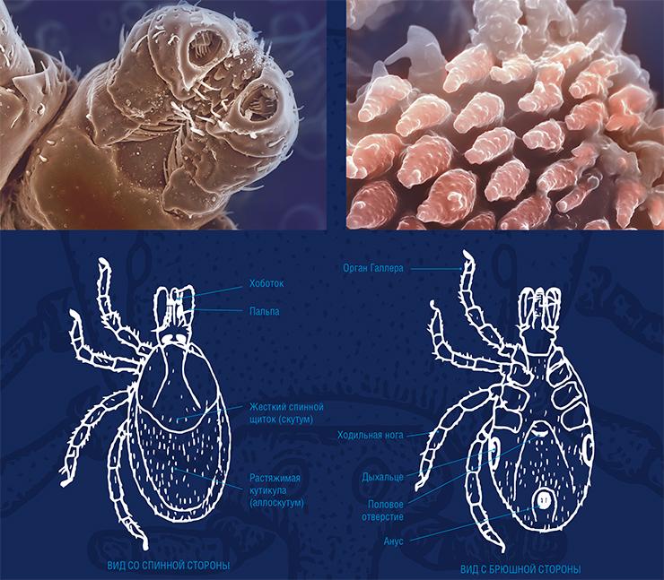 Почти у всех клещей, за исключением принадлежащих к родам Ixodes и Haemaphysalis, имеется пара глаз. Ноги состоят из 6 подвижно соединенных члеников. На конце лапки находятся два коготка, а расположенная между ними подушечка выполняет роль присоски. На лапках первой пары ног находятся основные сенсорные органы клещей – органы Галлера. Клещ фиксируется на теле хозяина с помощью зубцов на ногах и выростах на основании головки, между которыми зажимаются волосы животного. Вытянутые ротовые части на головке образуют хоботок, от основания которого отходят пальпы с хеморецепторными и механорецепторными волосками. С нижней стороны на хоботке находятся параллельные ряды направленных назад зубцов.