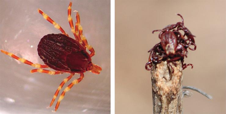 Клещи рода Hyalomma относятся к пустынным видам. H. marginatum (слева) обитает на юге европейской части России. Личинки и нимфы питаются на птицах и грызунах, взрослые особи – на копытных. H. marginatum является основным переносчиком вируса конго-крымской геморрагической лихорадки – опасного заболевания с летальностью 16 %. Public domain. Степной клещ Dermacentor marginatus (справа) обитает в степных и лесостепных биотопах в южной части Европы, европейской части России и в Западной Сибири до Красноярского края на востоке. Служит переносчиком возбудителей сибирского клещевого тифа и Ку-лихорадки. Фото В. Якименко (Омский НИИ природно-очаговых инфекций)