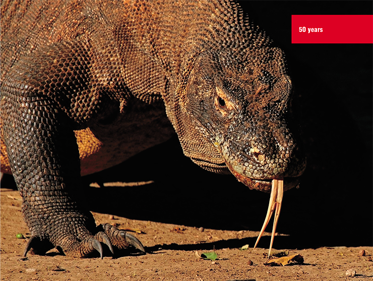"On the Indonesian island of Komodo, there lives the largest lizard on Earth – the Komodo dragon. These giant reptiles are predominantly scavengers, but can attack wild sheep, water buffalo, and feral goats. In the wild, they rarely live longer than half a century. The genome of ""the last dragon"", as the locals call this animal included in the IUCN Red List, has been thoroughly studied by an international team of researchers, including scientists from the Department of Genome Diversity and Evolution IMCB RAS (Lind et al., 2019). © Charles J. Sharp"