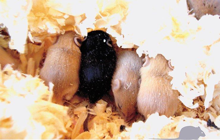 Мыши, несущие два гена доминантной мутации Agouti yellow (Аʸ/Аʸ), нежизнеспособны. Поэтому для получения желтых мышат скрещивают гетерозигот по этой мутации (Аʸ/а) с гомозиготами по рецессивной мутации nonagouti (а/а). Согласно менделеевскому расщеплению потомство получается разноцветным: половина мышат имеет генотип Ау/а и желтый цвет шерсти, а половина — генотип а/а и черный цвет шерсти