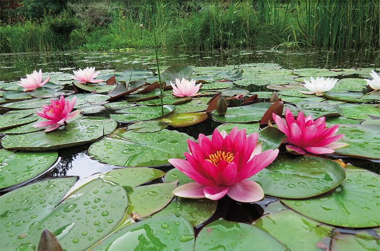 Varietal water lilies (the genus Nymphaea) bloom throughout the summer until the first frosts and winter well in Siberia. The variety Attraction with pink flowers up to 18 cm in diameter was created back in 1910 in France