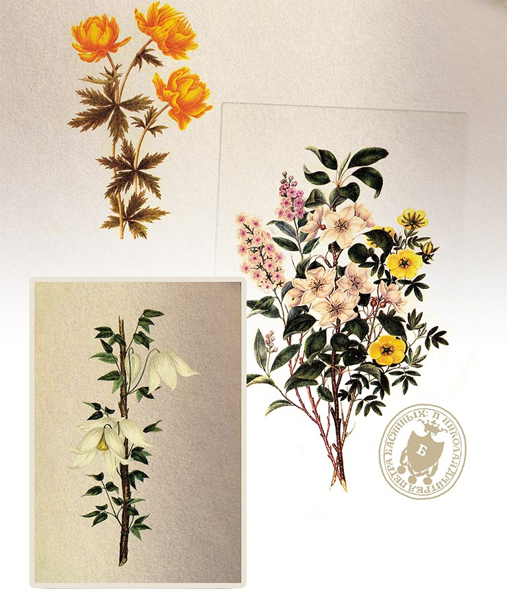Siberian plants: from top down: Asian globe-flower (Trollius asiaticus L.), a bunch of wild-growing woody plants, and Siberian clematis (Atragene sibirica L.). on the previous page: Daurian rhododendron (Rododendron davuricum L.); Watercolor by P. I. Borisov From: (Kuibysheva, Safonova, 1986)