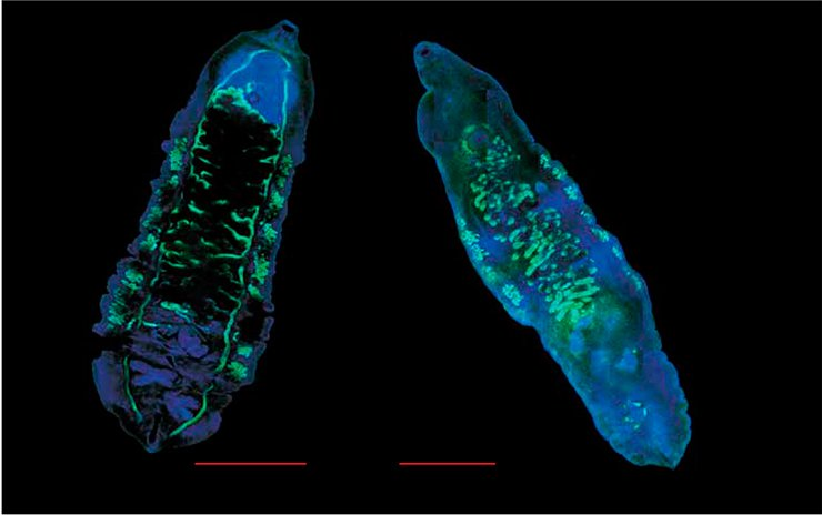 These two species of parasitic trematodes, O. viverrini (left) and O. felineus (right), are the major opisthorchiasis agents. The adult individuals parasitize the liver and bile ducts of infected persons. Laser scanning microscopy