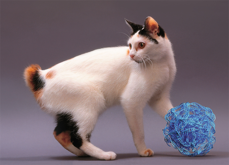 In Japanese bobtails, a mutation in the HES7 gene causes a reduction of the number and length of tail vertebrae. © Callalloo Twisty – stock.adobe.com