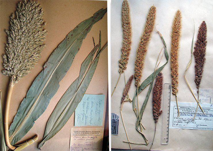 "Left: another ancient cultivated plant – durra Sorghum durra (Forsk.) Stapf – differs from common millet by a denser inflorescence.Herbarium specimen (Iraq, VIR). On right: Foxtail millet (Setaria italica (L.) Beauv. = Panicum italicum L.), referred to as ""mohar,"" has been raised since ancient times as a forage culture and referred to as ""chumisa"" or grown as a cereal and referred to as ""gomi"". Herbarium specimen (Central Asia, area of Balkhash Lake, VIR)"