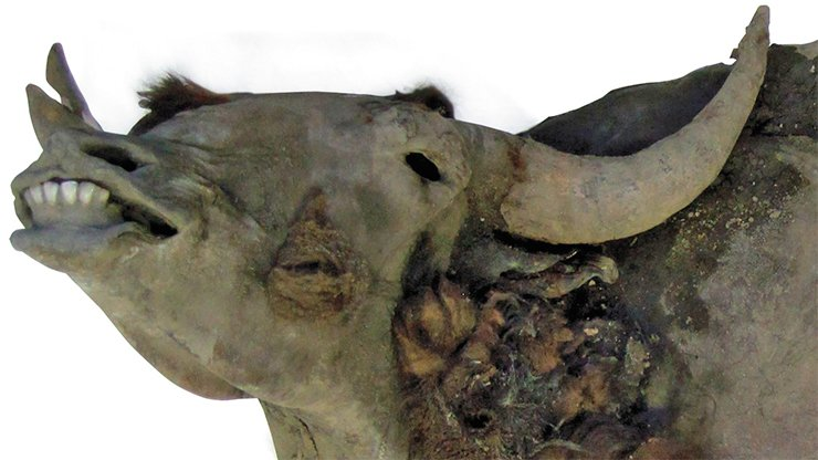 The horn spread of this bison mummy, found in a glacial cliff of the Oiyagos Gill in 2010, was 75 cm
