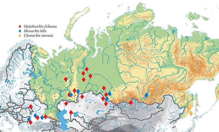 Currently, in addition to Western Siberia, liver flukes are found in the Volga–Kama, Don, and Dnepr River basins and of the adjacent countries, in Kazakhstan, Belarus, Ukraine, and Baltic states. Map shows the sampling sites for the liver flukes deposited in the collection of the Institute of Cytology and Genetics, Siberian Branch, Russian Academy of Sciences (Novosibirsk)