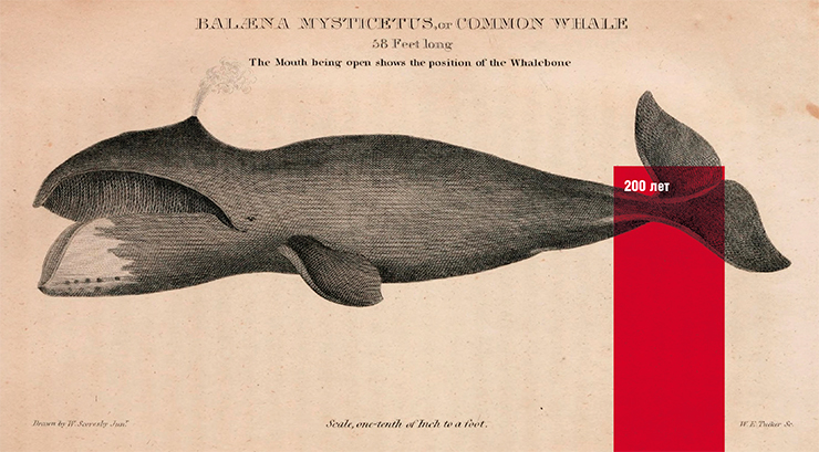 "The Greenland whale is the second only to the blue whale in size, weighing up to 100 tons. Its average lifespan approaches half a century. The maximum registered lifespan based on changes in the eye lens is over 200 years. This makes Greenland whales the record holders in longevity among mammals. Illustration from ""The American Natural History"" by H. C. Carey & I. Lee (1826–28) Public domain"