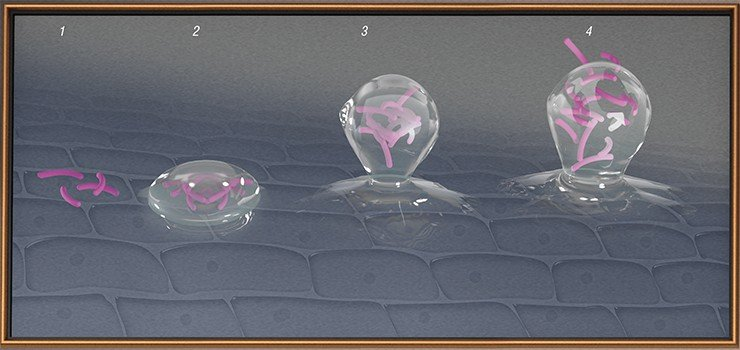 В жизненном цикле биопленки выделяют несколько стадий: первичное прикрепление микроорганизмов к поверхности (адгезия) (1); фиксация (окончательное прикрепление) с выделением внеклеточных полимеров (2); созревание, когда в колонии накапливаются питательные вещества, а клетки начинают делиться (3); дисперсия – выброс с поверхности биопленки микроорганизмов, которые могут стать родоначальниками новых колоний (4)