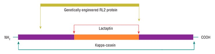 A research team of the Institute of Chemical Biology and Fundamental Medicine, Siberian Branch, Russian Academy of Sciences (Novosibirsk, Russia) discovered a new protein with apoptotic properties in breast milk; the protein was named lactaptin. The peptide with a molecular weight of 8.6 kDa contains 74 amino acid residues and is a fragment of the human milk kappa-casein. Several analogs of this peptide, including the RL2 protein, have been genetically engineered based on Escherichia coli