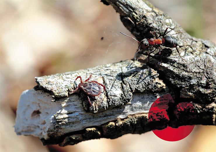 Обширный ареал лугового клеща Dermacentor reticulatus включает территорию Европы, европейской части России и Западной Сибири. Часто встречается в лесопарковых зонах и на окраинах городов (на пустырях). Имеет два пика активности – весенний и осенний. Наибольшую опасность представляет для собак, поскольку является переносчиком возбудителей, вызывающих у них тяжелое, угрожающее жизни заболевание – пироплазмоз собак. В Восточной Сибири и на Дальнем Востоке, где D. reticulatus отсутствует, случаи пироплазмоза собак не описаны. Это фото сделано в Московской области. © CC BY-SA 4.0, фото А. Яковлева