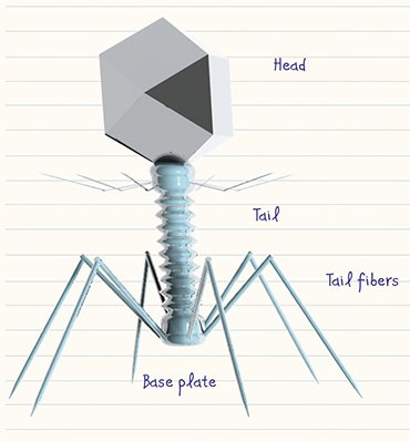 "A typical bacteriophage comprises a ""head"" housing DNA or RNA and surrounded by a protein or lipoprotein envelope (capsid), and a ""tail"", a protein tube used by the virus to ""inject"" its genetic material into the bacterial cell"