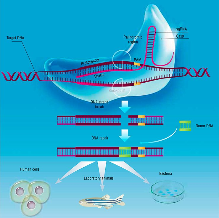 The artificial CRISPR/Cas system for genome editing is inspired by the bacterial defense system directed against DNA bacteriophages. The system comprises two major parts, namely, the noncoding short guide RNA (sgRNA) and the Cas proteins. The sgRNA with the help of Cas proteins binds to a protospacer, the complementary region in target DNA. The Cas9 nuclease cuts the DNA target strand at the spacer site, allowing any donor DNA molecule to be inserted to this breakpoint during repair