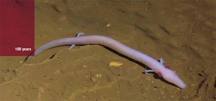 The olm inhabits underwater caves in Europe. This small salamander is only 23 to 35 cm long and weighs 15 to 20 grams. At the same time, its lifespan is ten times as long as that of its close relatives. According to one hypothesis, the secret lies in its mitochondria, which form virtually no active forms of oxygen that damage cell macromolecules. © Bernhard Wintersperger