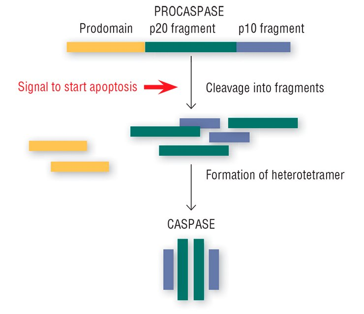 "Once the ""order"" to self-liquidate arrives, the inactive enzymes, procaspases, in the cell are cleaved into fragments, further used to construct an active heterotetrameric enzyme, caspase, able to cleave the structures that are of vital importance for the cell"
