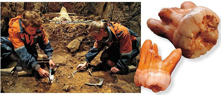 "For many years Novosibirsk archaeologists have been involved in excavations of the Pleistocene deposits in the Denisova Cave (Gornyi Altai, Russia), the most ancient Paleolithic site in Siberia, where man appeared for the first time about 300 TYA. Right, the third upper molar, a ""wisdom tooth"" of the Denisovan man, found in lithological layer 11, which is 50,000—40,000 years old"