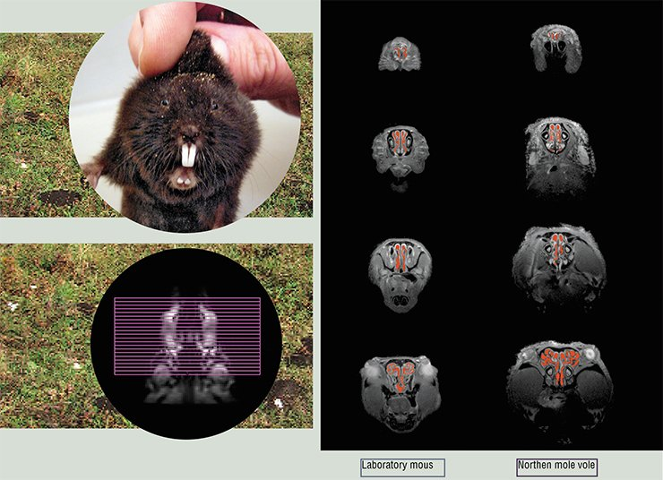 "The MRT images of axial ""sections"" of the nasal passages of a laboratory mouse and a northern mole vole were recorded using a BioSpec 117/16 magnetic resonance imaging scanner by researchers with the Sector of Tomography of Laboratory Animals (International Tomography Center and Institute of Cytology and Genetics, SB RAS)"
