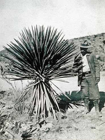 Félix d'Hérelle's scientific career began on sisal plantations in Mexico, where he not only used, for the first time in the world, pathogenic bacteria against locusts but also observed, also for the first time, the action of bacteriophages. Mexico, 1941. © Institut Pasteur – Musée Pasteur